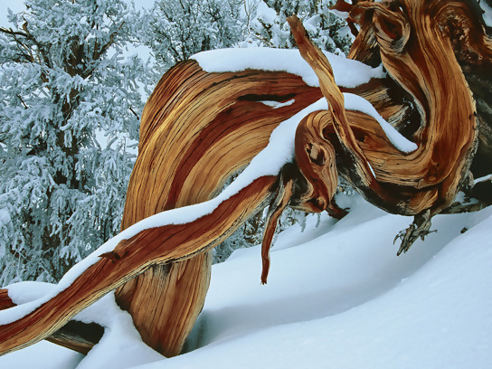 Bristlecone pine tree have in the White Mountains, California. They adapt to survive the harsh temperatures of winter and summer.