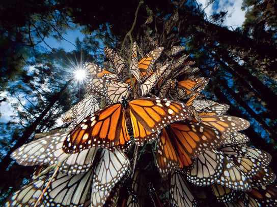 Monarch butterflies flying back from their winter spot in Sierra Chincua, Mexico.