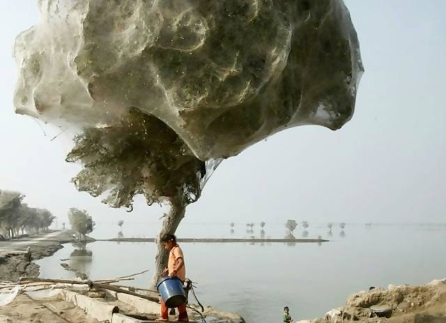 Spiders climbed trees to avoid flooding in Pakistan. Thousands of them ended up building webs there.