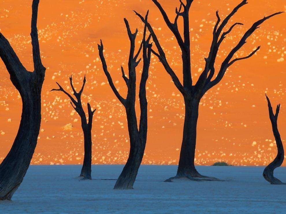The camel thorn trees in Namibia, photographed here at sunrise.