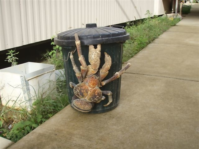 These enormous coconut crabs are a common sight in tropical climates.