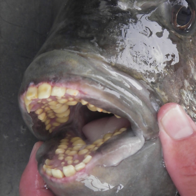 This fish has teeth that are eerily similar to humans.