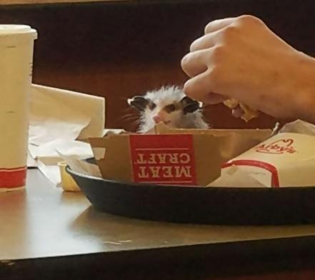 a possum eating a hamburger at an Arby's